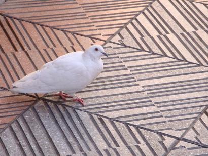 paloma-de-la-paz1