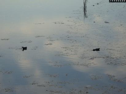 rapto-del-cisne-2