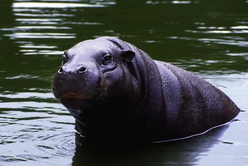 hipopotamo-enano-liberia